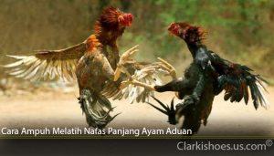 Cara Ampuh Melatih Nafas Panjang Ayam Aduan