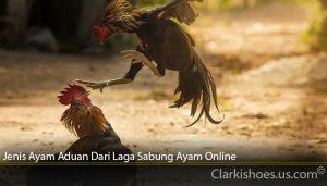 Jenis Ayam Aduan Dari Laga Sabung Ayam Online